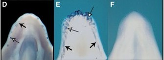 '60 to 80 million years ago the ancestors of birds had teeth.  Above is a diagram showing that mutant chickens can revive some of the teeth genes to begin the growth of teeth.  On the far left is the gene 'Shh' (involved in tooth growth) being expressed in an crocodile.  The middle picture is the same gene being expressed in a chicken mutant.  The right picture is a normal chicken.  http://www.nature.com/scitable/topicpage/atavism-embryology-development-and-evolution-843' from the web at 'http://www.evolutionevidence.org/wp-content/uploads/2013/08/1-s2.0-s0960982206000649-gr2_2_1.jpg'