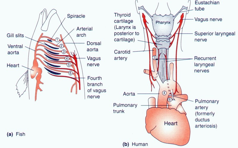 There is a nerve homologous in fish (our ancestors) and in modern tetrapods (like us) called the recurrent pharyngeal nerve.  It's called 'recurrent' because to serve its function of helping speak and swallow it travels from the top of the vagus nerve down around the aorta back to the pharynx.  This trip takes the nerve unnecessarily several inches out of the way.  Why?  Because the set up of vagus nerve, aorta, pharynx area, made great sense when our ancestors were fish and things were organized different.  Now we have the same arrangement because of our evolutionary history rather than its optimal function. http://techcrash.net/giant-neurons/