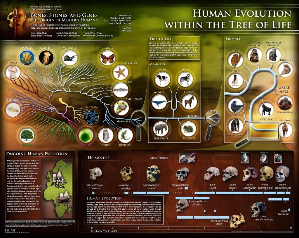 http://media.hhmi.org/biointeractive/posters/2011%20human%20evolution.jpg