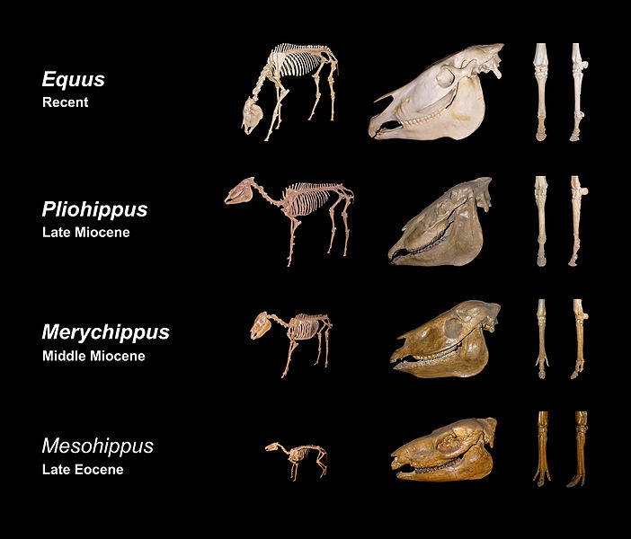 http://en.wikipedia.org/wiki/Evolution_of_the_horse
