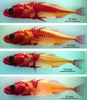 stickleback evolution National academy of sciences our results support the intriguing hypothesis that most stickleback evolution in fresh water occurs within the first.