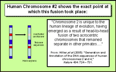 'Humans have 23 pairs of chromosomes.  Chimpanzees have 24.  If we're so closely related and share roughly 98% of our genes, how could this be?  Chromosome fusion!  Human chromosome 2 shows signs of a fusion event.  Within this chromosome are extra telomeres (repeat sequences1_b@b_1the  tips of chromosomes), and centromeres (sequences that are1_b@b_1the center of chromosomes and aid in division).  These anomolies and leftovers from our ancestor's chromosome formation are excellent evidence in support of evolution.http://blogs.discovermagazine.com/loom/2012/07/19/the-mystery-of-the-missing-chromosome-with-a-special-guest-appearance-from-facebook-creationists/#.UnO7VHBwpKU' from the web at 'http://www.evolutionevidence.org/wp-content/uploads/2013/08/Chimp-Genome-Argument-3.jpg'