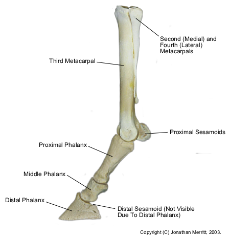 'The most relevant evolutionary leftover for horse racing is the splint bone.  They reside on either side of the third metacarpal bone and are often injured in racing causing great discomfort.  These splint bones are the remnants of ancient fingers.  They are now treated with extensive wrapping before racing. http://en.wikipedia.org/wiki/Limbs_of_the_horse' from the web at 'http://www.evolutionevidence.org/wp-content/uploads/2013/08/Equine-dist-forelimb-bones.png'