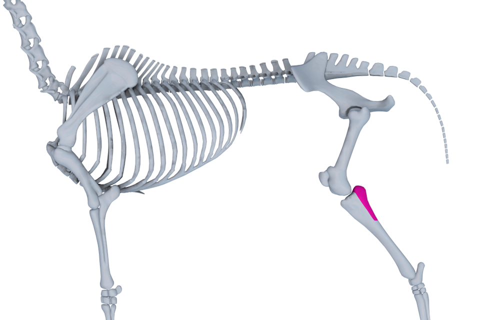The horse fibula is almost gone.  One of the author's of this site has done morphological studies on mice and knows this phenomena of vestigial fibulas to be widespread. http://www.horse360.com.au/app/images/Horse%20360%20Android%20Tablet/general/