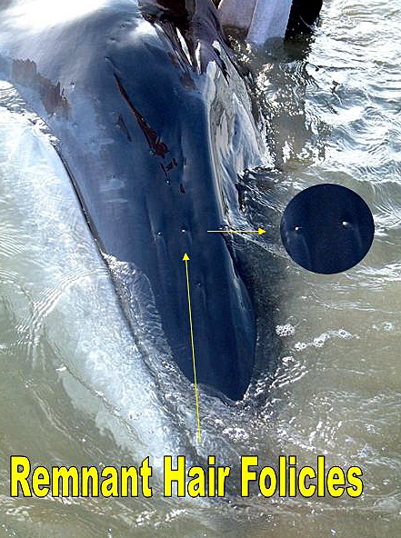 ' ' from the web at 'http://www.evolutionevidence.org/wp-content/uploads/2013/08/Fin_whale_hair-441x592.jpg'