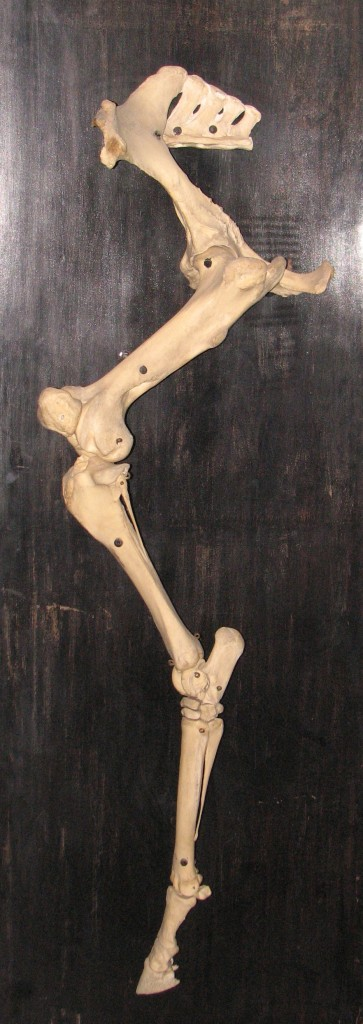 'The vestigial fibula is visible1_b@b_1the top of the first bone from the bottom angled towards the right. http://en.wikipedia.org/wiki/Skeletal_system_of_the_horse' from the web at 'http://www.evolutionevidence.org/wp-content/uploads/2013/08/Horse_leg_bones-363x1024.jpg'