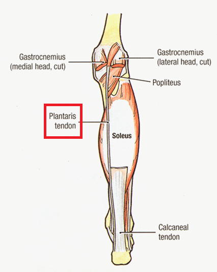 'Plantaris_muscle' from the web at 'http://www.evolutionevidence.org/wp-content/uploads/2013/08/Plantaris_muscle.png'