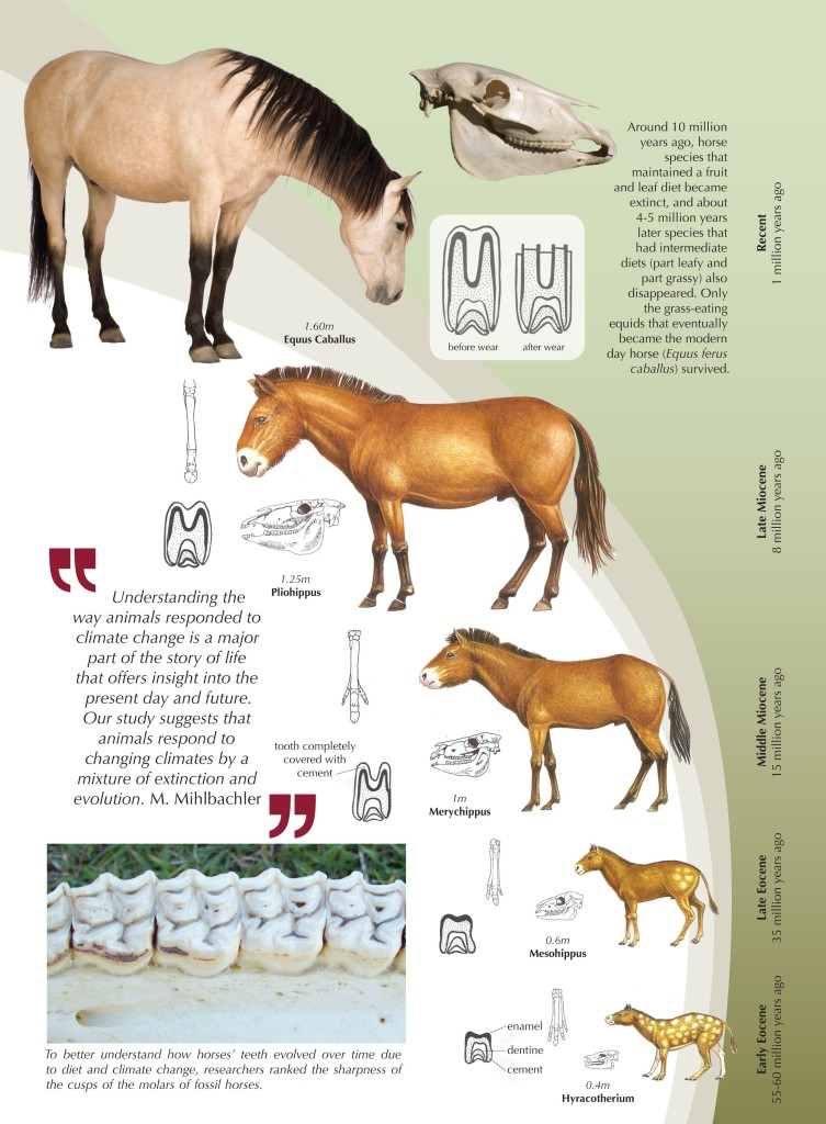 http://www.mberg.com.au/dietary-changes-and-the-evolution-of-the-horse/
