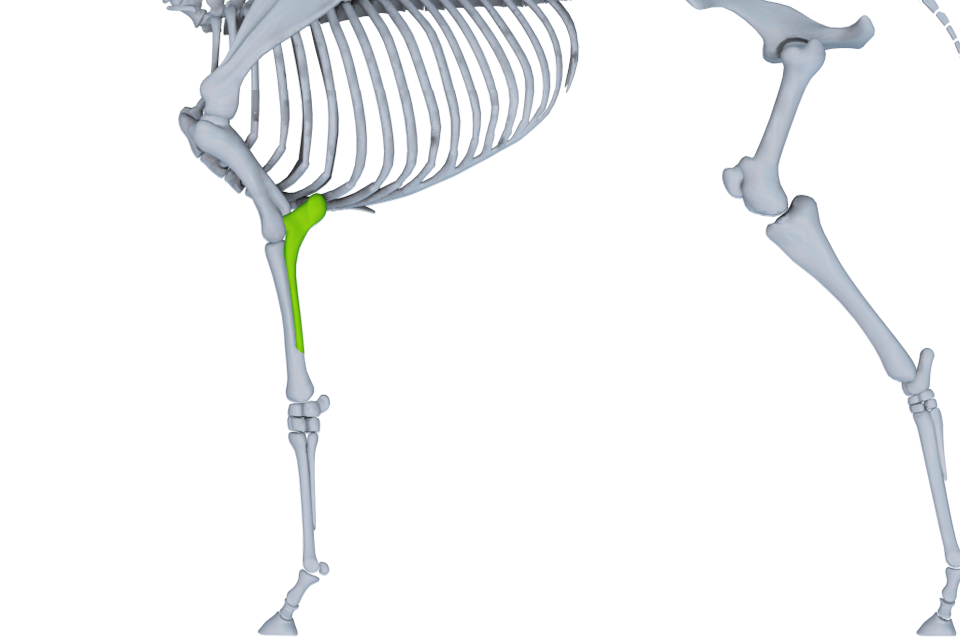 The ulna through the process of evolution has fused to the radius.  The fuse site and structure are variable between individuals. http://www.horse360.com.au/app/images/Horse%20360%20Android%20Tablet/general/