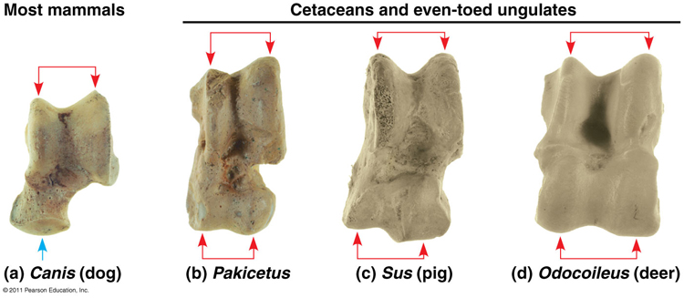 This is another image showing the homology between ancient whale ancestors (Pakicetus) and modern day even-toed ungulates (like pig and deer).  Dogs were included on the far left as a contrast typical of non-even-toed ungulates. http://www.bio.miami.edu/dana/160/160S13_5.html