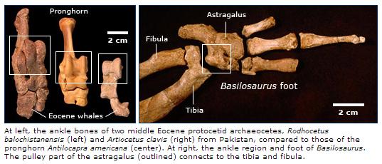 http://evolution.berkeley.edu/evolibrary/article/evograms_03
