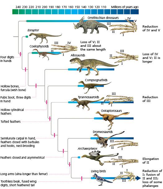 http://evolution.berkeley.edu/evolibrary/article/evograms_06