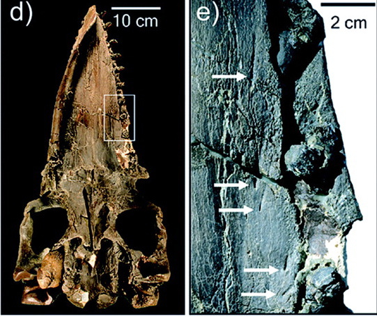 http://whyevolutionistrue.wordpress.com/2010/07/22/baleen-whales-a-lovely-transitional-form/ Original article: http://www.sdnhm.org/archive/research/paleontology/DemereMorphoBaleenTeeth.pdf