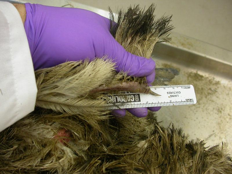 Emu wing claw. http://blog.revealedsingularity.net/category/tuesday-tetrapod/page/2