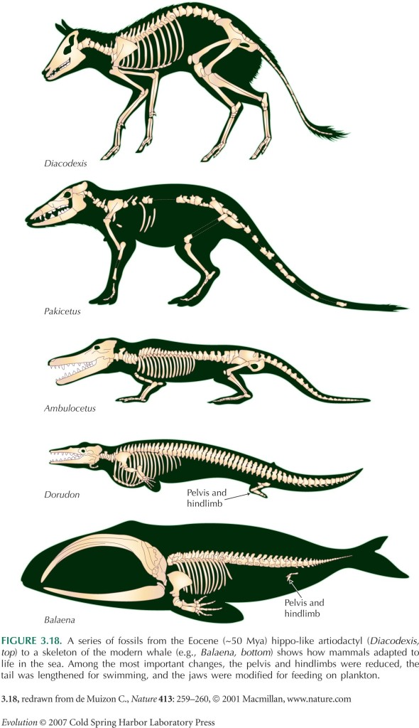 evolution-of-whale