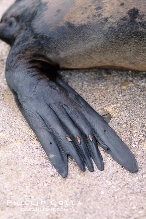 'While their feet have been highly modified for their life in the sea, the still retain their ancestor's nails, often on their front and hind limbs.  These are visible as small indentations even in the highly modified hind limbs of the elephant seal. http://www.oceanlight.com/spotlight.php?img=02257 http://www.oceanlight.com/spotlight.php?img=03234 They aren't totally functionless, though: http://www.flickr.com/photos/marlinharms/5737534193/ http://z-letter.com/2010/10/27/samc/ http://www.arkive.org/california-sea-lion/zalophus-californianus/image-G28770.html http://www.care2.com/c2c/groups/disc.html?gpp=11767&pst=1105790 http://www.arkive.org/northern-elephant-seal/mirounga-angustirostris/image-G27354.html' from the web at 'http://www.evolutionevidence.org/wp-content/uploads/2013/08/galapagos-sea-lion-picture-02257-811414.jpg'