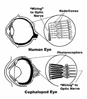 "Notice how the nerve ""wiring"" goes over the photoreceptors, reducing their effectiveness. http://ceph.wikispaces.com/"