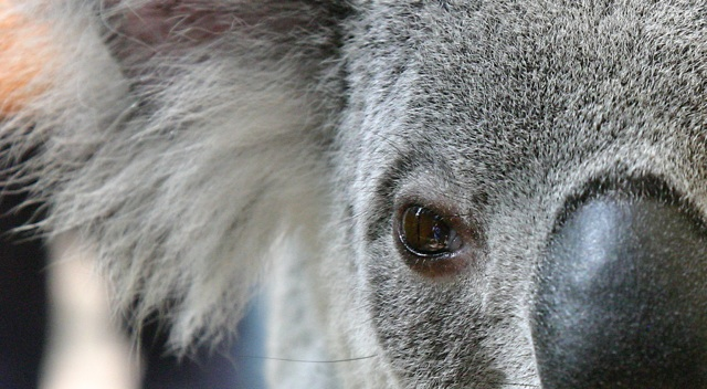 'Koala brains take up roughly half of their brain case.  Why?  Because the diet they have recently evolved to eat--eucalyptus leaves--is very nutritionally poor and they need to conserve as much energy as possible.  For them that means having a smaller brain.  Why not also have a smaller brain case?  Well, that's evolutionarily more difficult to select for and evolution tends to take the path of least resistance.   Image: http://www.pbs.org/wnet/nature/lessons/the-koala-diet/enhanced-video-resource/7852/ Read more: http://www.pbs.org/wnet/nature/lessons/the-koala-diet/enhanced-video-resource/7852/' from the web at 'http://www.evolutionevidence.org/wp-content/uploads/2013/08/koala.jpg'