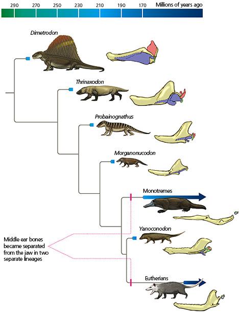 mammal ear bone evolution