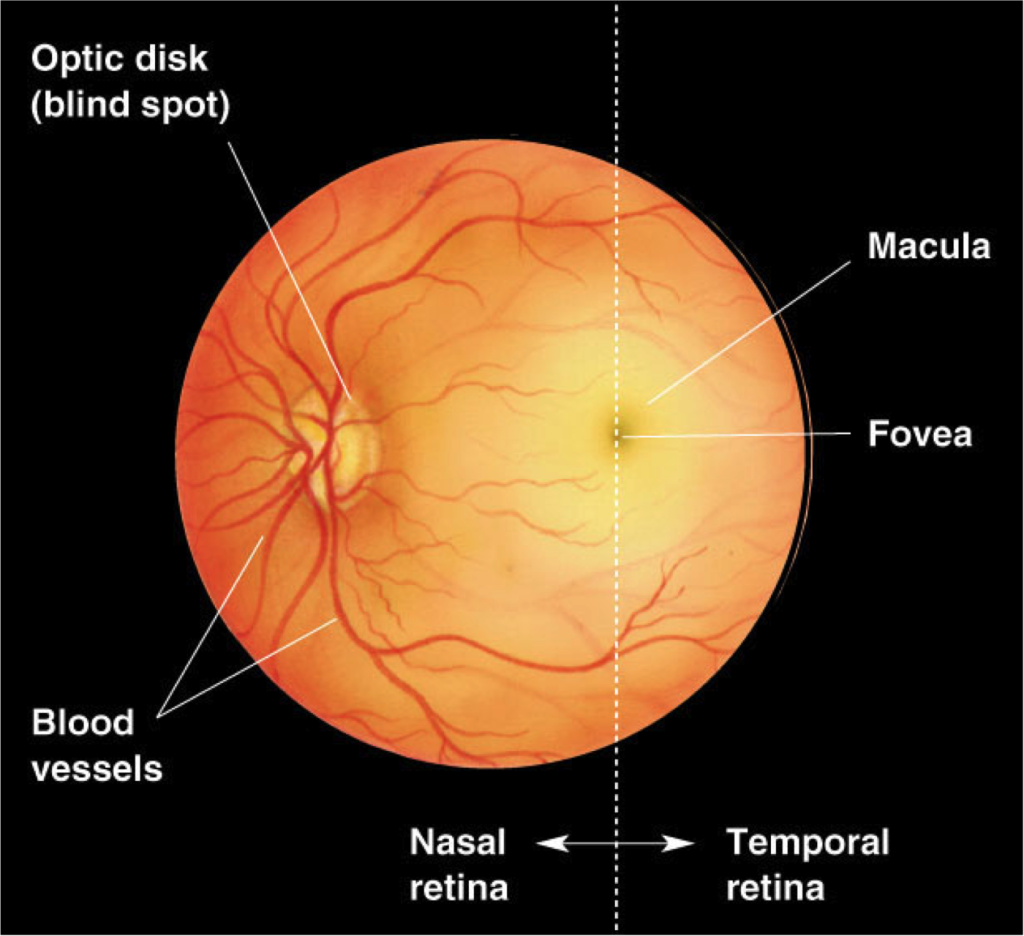 'The blind spot is an area that the optic nerve emerges from and goes /over/ the retina rendering that area blind.  This is widely considered a very poor design, since it is far from necessary (other clades like cephalopods have their nerves going behind the retina, a more functional design). http://www.studyblue.com/notes/note/n/vision-the-eye-/deck/712392' from the web at 'http://www.evolutionevidence.org/wp-content/uploads/2013/08/opthalmoscopic-1024x936.png'