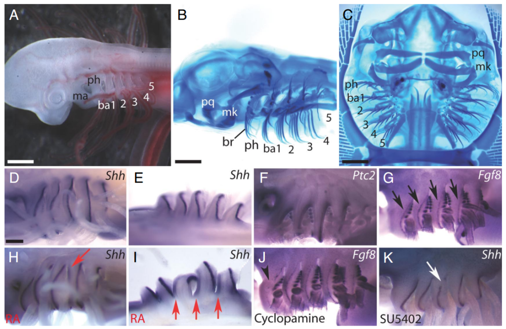Here are pharyngeal gill arches in a skate fish that are homologous to humans. http://www.pnas.org/content/106/14/5720.full.pdf