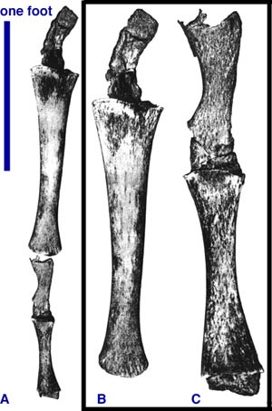 ' ' from the web at 'http://www.evolutionevidence.org/wp-content/uploads/2013/08/whale_leg.jpg'